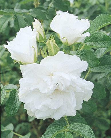Blanc Double de Coubert from Weeks